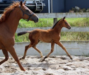 again filly foal